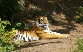 Картинка тигр, отдых, хищник, амурский