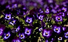 Обои макро, цветы, незабудки