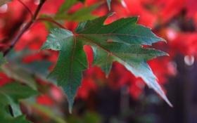 Обои растение, лист, природа