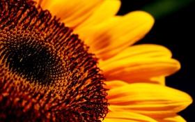 Картинка желтый, подсолнух, красивый