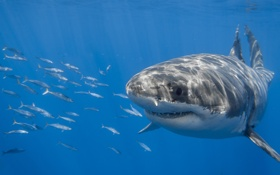 Картинка Белая акула, красава, рыбы, акула, море