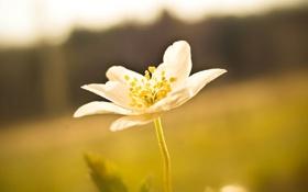 Картинка белый, цветок, макро, желтый, природа, растение, лепестки