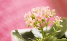 Обои соцветия, фото, весна, розовый, обои, каланхоэ, листы