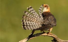Обои птица, ветка, перья, чистка
