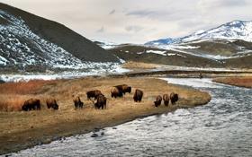 Обои yellowstone national park, bison, yellowstone river