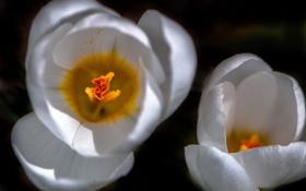 Картинка природа, лепестки, тюльпан, цветы