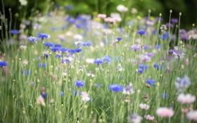 Обои трава, цветы, голубые, синие