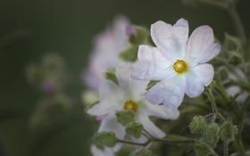Картинка цветок, светлый, белый, природа, зелень, лепестки, макро