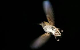 Обои полет, темный фон, птица, крылья, колибри, птичка