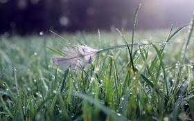 Обои трава, вода, капли, природа, grass, bokeh, перышко