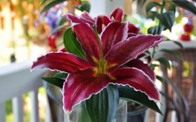 Обои цветок, лилия, красавица, flower, beauty, Lily