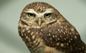Обои макро, сова, птица, owl