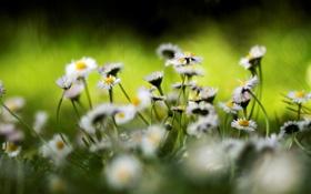 Картинка цвета, цветы, природа, яркие, ромашки, растения, весна