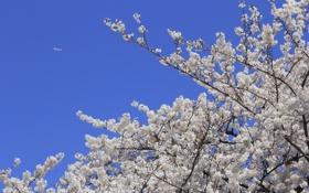 Обои небо, природа, самолет, сакура, цветочки, веточки