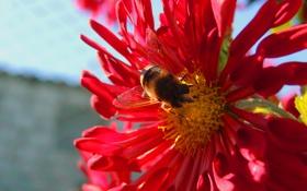 Обои цветок, пчела, лето