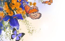 Обои бабочки, цветы, хризантемы, ирис