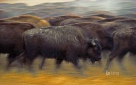 Картинка бизоны, Южная Дакота, движение, стадо, США, Форт-Пьер