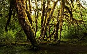 Картинка зелень, деревья, природа, туман, мох, Лес, полумрак