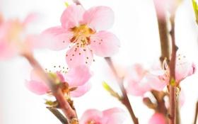 Обои цветы, сакура, нежные, розовые
