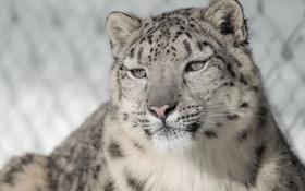 Обои морда, портрет, хищник, ирбис, снежный барс, дикая кошка, снежный леопард