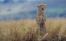 Картинка трава, гепард, дикая кошка