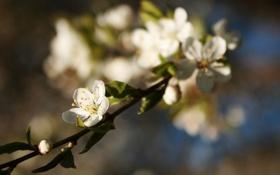 Картинка макро, цветы, природа, вишня, ветка, весна, размытость