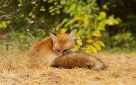 Картинка лес, взгляд, природа, животное, лиса, лисица