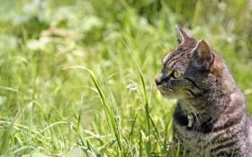 Обои кошка, трава, кот, макро, котенок, cat