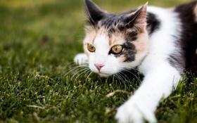 Обои кошка, трава, кот, взгляд, лапа, мордочка
