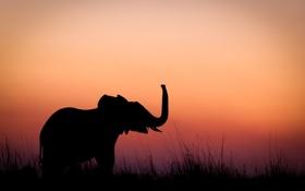 Обои закат, слоненок, силуэт, слон, вечер