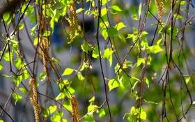 Обои листья, береза, сережки, весна