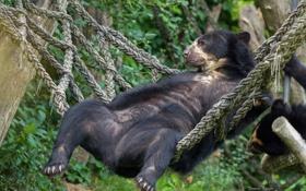 Обои отдых, медведь, гамак, расслабон, Очковый медведь