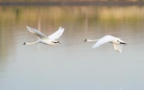 Обои вода, полет, птицы, гладь, пара, лебеди