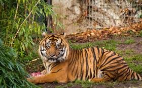 Обои суматранский, кошка, тигр, куст