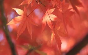 Обои листья, осень, природа, дерево