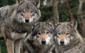 Обои хищники, волки, троица, санитары