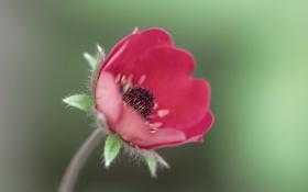 Обои цветок, красный, лепестки