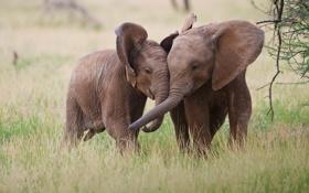 Обои пара, африка, слоны
