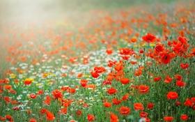 Картинка лето, цветы, природа, маки