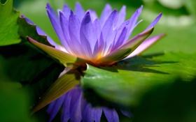 Обои цветок, пруд, сиреневый, водяная лилия