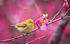 Обои сакура, птица, цветение, ветка