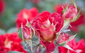 Картинка лето, макро, цветы, природа, роса, тепло, розы