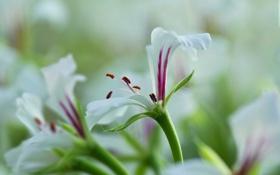 Картинка цветы, фон, розовые, белые