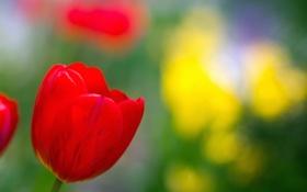 Обои лето, природа, цвет, тюльпаны