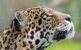 Картинка кошка, морда, ягуар, профиль, ©Tambako The Jaguar