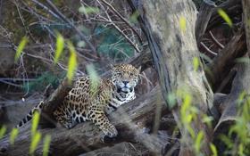 Обои отдых, хищник, ягуар, panthera onca
