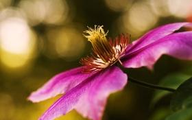 Обои розовый, цветок, лоза, клематис, лиана, фокус