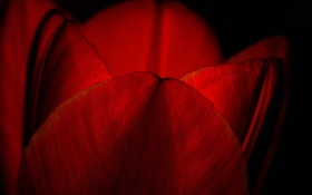 Обои цветок, природа, тюльпан, лепестки