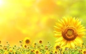 Обои лето, цветы, лепестки, подсолнечник, боке