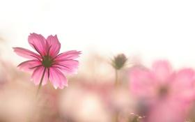 Картинка космос, цветы, розовая, фокус, космея